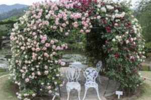 つるバラの画像